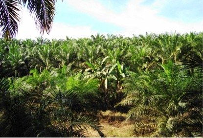 Indonesia Government holds summit to discuss palm oil production
