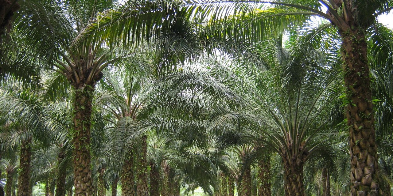 Ghana's green gold: country poised to profit from rise in global demand for sustainable palm oil