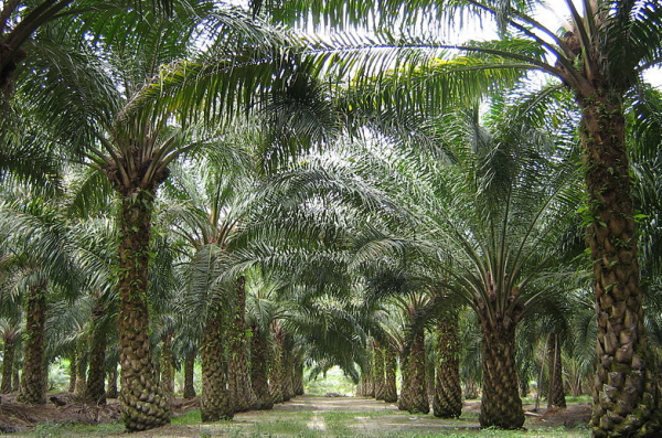 We need more than you can produce: Unilever and PZ Cussons summoned to explain palm oil imports
