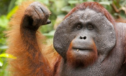 Weleda looks to protect orangutans with new Borneo Orangutan Survival partnership